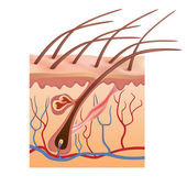 Human skin and hair structure. Vector illustration. — Vettoriale Stock