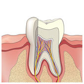 Tooth structure. Anatomy of teeth. Vector illustration. — Stock Vector