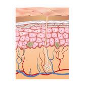 人間の皮膚構造。ベクトル イラスト. — ストックベクタ