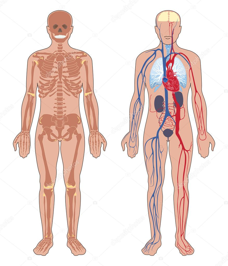 Human body struc...Human Body Muscle Outline