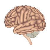 Brain anatomy. Human brain lateral view. — Stock Vector