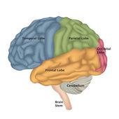 Brain anatomy. Human brain lateral view. — Stock Vector