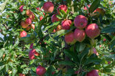 Apple trees with apples — Foto de Stock