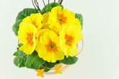 Yellow primroses in a flower pot — Stock Photo