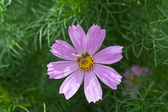 Cosmos bipinnatus flower and bee gathering — Stock Photo
