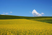 Rape, barley fields under sky and white clouds — Stock Photo
