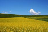 Stupro, campi di orzo sotto cielo e nuvole bianche — Foto Stock