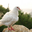 Stock Photo: White pigeon on stone