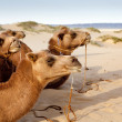 Caravan of camels — Stock Photo