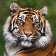 Detailed portrait of a Benegal Tiger - Stock Photo