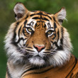 Detailed portrait of a Benegal Tiger — Stock Photo