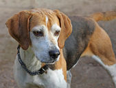 Alert Beagle dog — Stock Photo