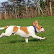 Healthy, happy, running Beagle dog — Stock Photo