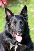Happy healthy German Shepherd dog — Stock Photo
