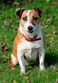 Healthy elderly Jack russel dog. — Stock Photo