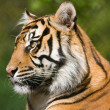 Tiger (Panthera tigris) — Stock Photo