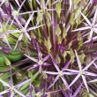 Purple Allium. — Stock Photo
