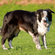 Royalty-Free Stock Photo: Border Collie sheepdog.