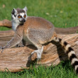Young playful ring tailed lemur. — Stock Photo