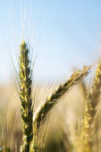 Wheat ears during sunset — Stock Photo