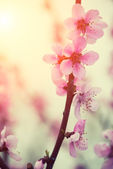 Pastel tones Spring blossomg — Stock Photo