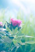 温柔粉红玫瑰和玫瑰 — 图库照片