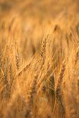 Campo di grano di balneazione durante alba — Foto Stock