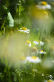 Wild chamomile, herbs in nature — Stock Photo