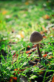 Single mushroom — Stock Photo