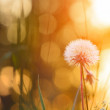 Tiny summer dandelion — Stock Photo #29533203