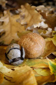 Autumn leaves and walnut. — Stock Photo