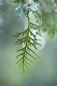 Arizona cypress — Stock Photo