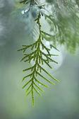 Arizona cypress — Stock Photo