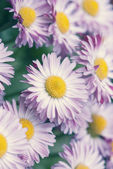 Pastel spring daisy macro — Stock Photo