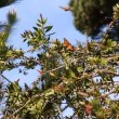 Monarch butterflies in pine tree — Stock Video #29429837
