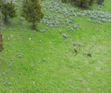 Due lupi correre su per la collina vicino paradiso valle montana — Video Stock