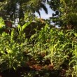 Stock Video: Lush cornfields in Africvillage