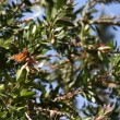 Monarch butterflies in pine tree — Stock Video #29433181
