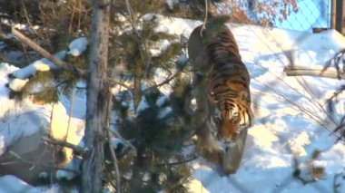Tiger in the snow — Stock Video