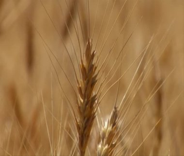 Close-up on wheat stalk with the rack focus — Stock Video