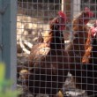 Chickens in chicken coop — Stock Video #29549513
