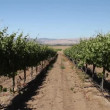 Rows of wine grapes — Stock Video #29549581