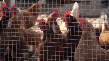 Chickens in chicken coop — Stock Video