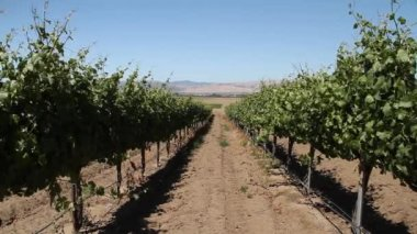 Rows of wine grapes — Stock Video