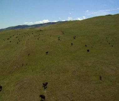 Cattle grazing and then running — Stock Video