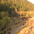 Large Valley with herd of cattle — Stock Video #31772223