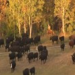 Large Valley with herd of cattle — Stock Video #31772255