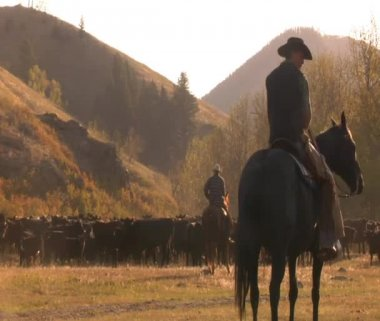 Cowboy with herd of cattle — Stock Video