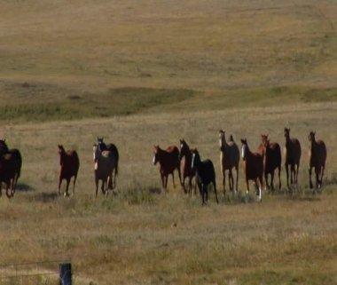 Horses run across Wide field — Stock Video