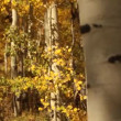 Yellow Aspen Grove — Stock Video